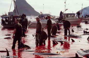 dinamarca-caza-de-ballenas-11