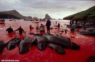 dinamarca-caza-de-ballenas