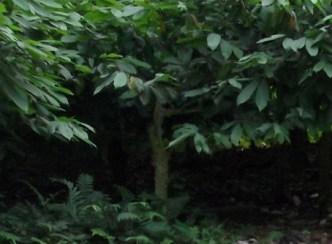 arbol-del-cacao