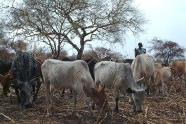 Ganado pastando en Sudán