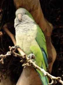 Aves invasoras